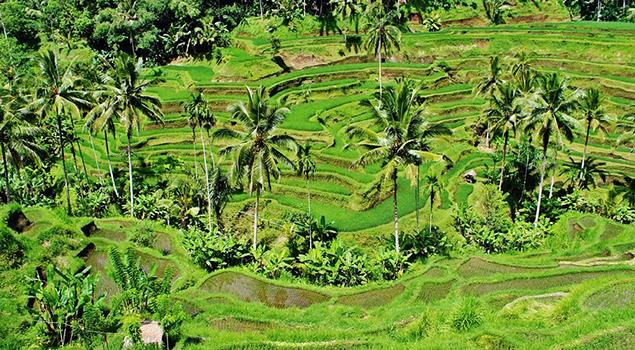 Highlights Bali - Rijstveld Bali