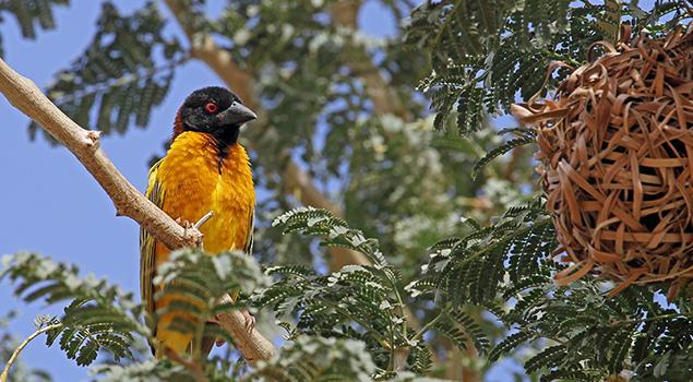 Vogels spotten in Gambia - Excursies Corendon